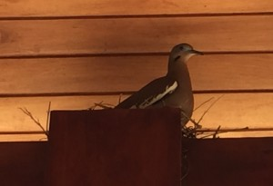 Another neighbor: mama parajo is nesting on a post holding up the cabana by the pool