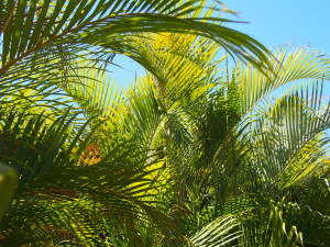 Palm fronds in the morning sun